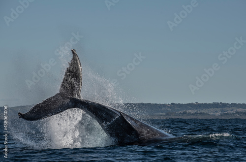 Humpback whale tail slapping in the Cape Byron Marine Park off Byron Bay, New So Fototapet