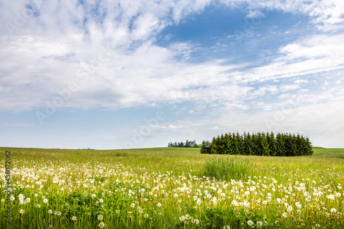 Meadow with blooming dandelions, forest and blue sky #438072062