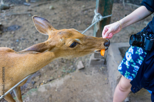 Fotografiet Close-up portrait of Fallow deer doe or hind of Cheetal or Spotted deer (Axis axis)