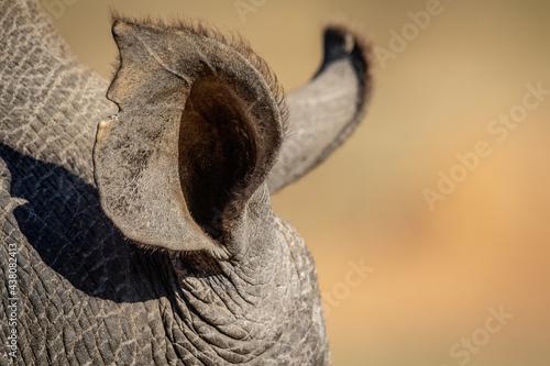 Obraz na plátně Close up of a White rhino ear.