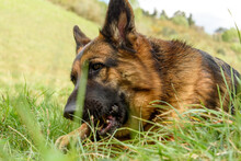 Close-up, Portrait, Front-on Of A German Shepherd Dog Completely Lying In The Grass Facing The Camera With Its Head On One Side, Holding A Stick Firmly In Its Hands While Biting It