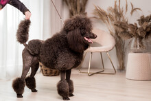 Large Brown Standard French Poodle Portrait