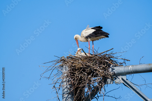 Stork with chick in nest #438097011