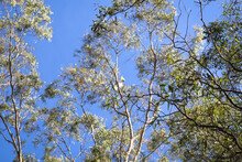Eucalyptus Tree Branches Against Blue Sky Shot In Selective Focus With Cockatoo In Background