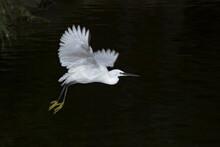 White Egret Soaring Above Rippling Lake In Nature
