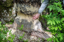 Mans Hand Touches The Trunk Of A Large Aspen Gnawed By A Beaver, A Wild Animal Destroys, Chops Down Trees To Build A Dam. Close-up.