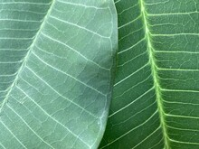 Detail Of Leaf Texture With Different Surfaces Of Object.