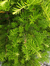 Taxus Baccata Close Up. Green Branches Of Yew Tree(Taxus Baccata, English Yew, European Yew).