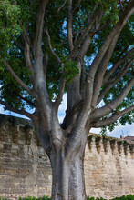 A Mighty Plane Tree On The Background Of The Fortress Wall. Avignon, France