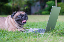Adorable Pug Dog Working With Laptop On The Lawn.