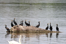 A Herd Of Cormorants Sitting On A Branch Flowing In The River, Poland Wild Life