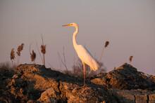 Egreta Alba - Great White Egret - Casmerodius Albus