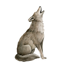 Howling Wolf Watercolor Illustration. Grey Wolf, Coyot Howl Animal Hand Drawn Image. Wildlife Forest Predator. Single Howl Lupus. Gray Furry Coyot Animal Sits