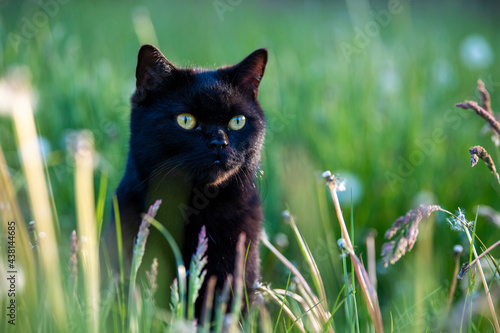 Fototapeta A black tomcat with green eyes is sitting in tall green grass and staring just to the right of the camera