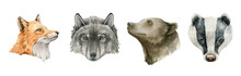 Forest Animal Portrait Set. Fox, Wolf, Bear, Badger Hand Drawn Illustration. Wildlife Animals Portrait Collection. Cute Realistic Fox, Wolf, Badger And Bear Element Collection. On White Background