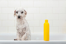 Little Wet White Dog And Yellow Shampoo Bottle In The Bath, Place For Text