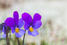 Flowers Of Viola Tricolor Among White Moss In The Sand, Close Up. Wild Pansy, Johnny Jump Up, Heartsease, Heart's Ease, Heart's Delight, European Wild Flower