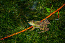 Calling Pond Frog In The Water