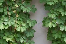 Parthenocissus Quinquefolia Or Virginia Creeper Ivy On A Concrete Retaining Wall Painted Grey