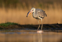 Sunlit Grey Heron, Ardea Cinerea, Holding A Fish In A Beak Ready To Eat It In A Pond. Wild Bird With A Long Legs Standing In Shallow Water And Catching Prey. Animal Fishing In Nature.