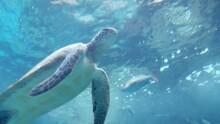 Turtle Swimming