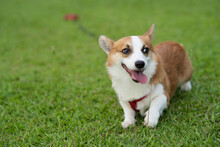 Cute Corgi Dog Playing On The Lawn In The Garden