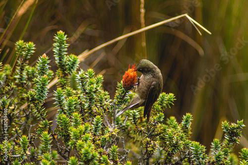 Fotografie, Obraz Moor hummingbird