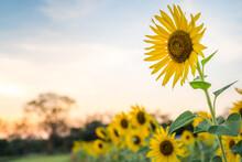 Sunflower Field Blooming In Summer Season