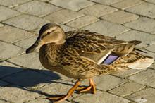 Walking On The Sidewalk Made Of Paving Stones Duck(female)