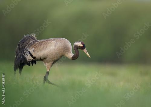 Fototapeta premium Common crane bird close up ( Grus grus )