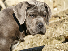 Purebred Cane Corso Puppy At The Age Of 4 Months