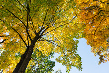 Tall Trees With Yellow Leaves In The Park. Crown Of Autumn Trees On A Background Of Blue Sky. Autumn Park With Yellow And Gold Leaves.