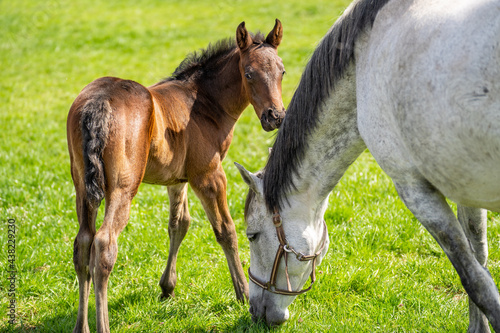 Foto Brown foal looks into the camera while white mare eating grass
