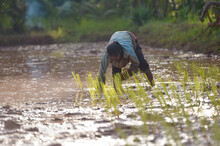 Farmer Planting Rice Plants In A Flooded Rice Field, Thailand