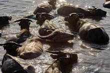 Herd Of Buffalo Swimming In Nong Han Lake, Sakon Nakhon, Thailand