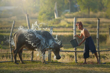 Farmer Throwing Water Over A Buffalo In A Rice Field, Thailand