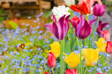 Multicolored Tulips And Blue Forget-me-not Flowers In The Countryside At Spring.