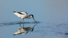 Close-up Photo Of A Rare Wader With A Long Thin Beak Curved Upwards. Critically Endangered Species In Natural Environment. Czech Republic. Pied Avocet, Recurvirostra Avosetta.