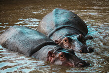 African Wild Hippopotamus Under Water Poking Out Eyes