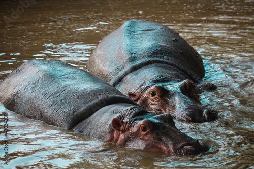 Fotografie, Obraz African wild hippopotamus under water poking out eyes
