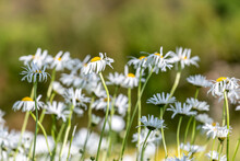 Leucanthemum Vulgare, Known As Oxeye Daisies, In The Summer Sunshine