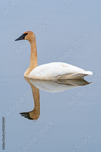 Elegant and Serene Tundra Swan on the Mississippi #438254069