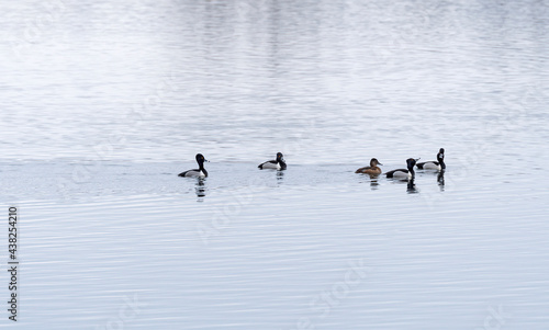 A Group of Ring Necked Ducks in the Mississippi #438254210