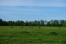 Horses Graze In The Meadow In Summer