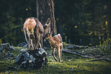 Bambi In The Forest - Baby Red Deer During Spring In Austria On A Sunny Day