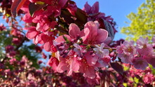 Apple Tree Pink Flowers But Tree Branch Spring Plant Blue Sky And Green Leaves Nature Landscape
