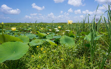 Water Lilies Invade A Wetland Pond In The Cameron Prairie National Wildlife Refuge