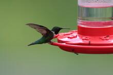 Ruby-throated Hummingbird Landing On A Hummingbird Feeder
