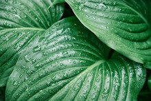 Background Of Green Leaves Of A Lily Flower. The Texture Of Wet Leaves In The Rain.