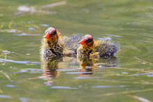 American Coot Chicks Swimming. Santa Clara County, California, USA.